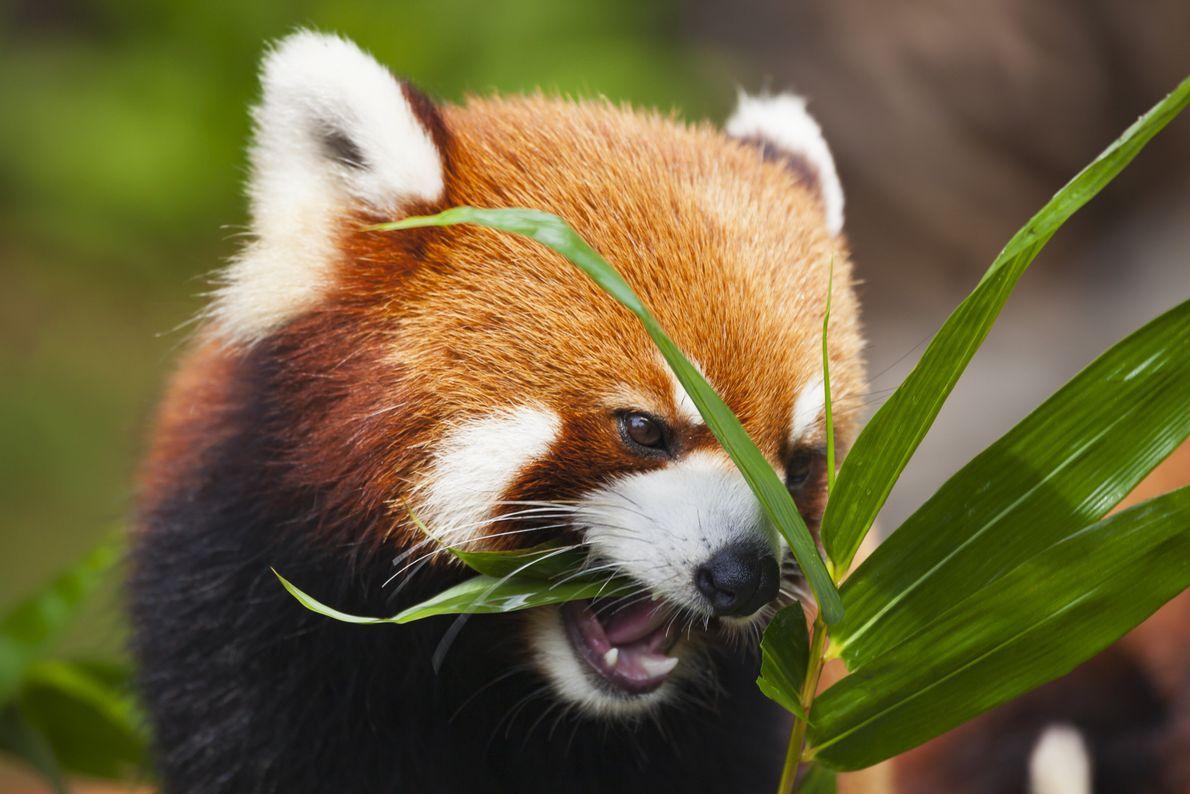 Panda-vermelho a comer