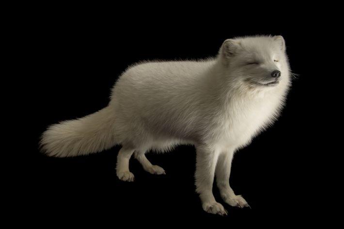 Raposa do ártico ou raposa polar, também conhecida pelo nome científico Vulpes Lagopus