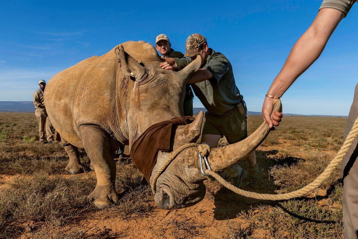 Rinocerontes em perigo, vítimas da caça furtiva