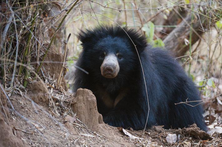 Urso-beiçudo