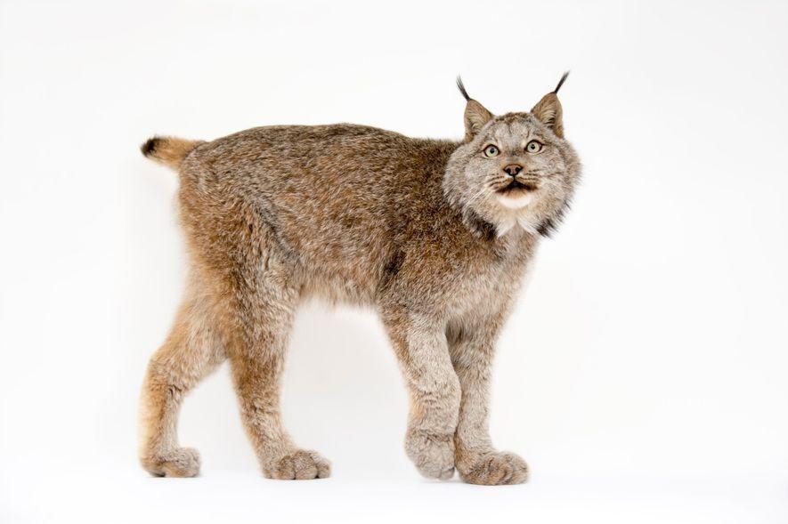 Lince do Canadá, Lynx Canadensis