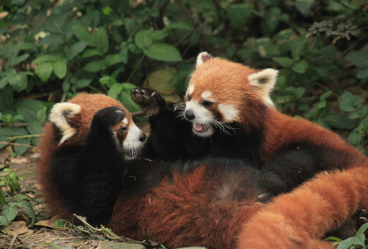 Panda-vermelho a brincar