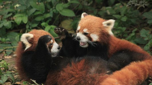 O Panda-Vermelho em Fotos
