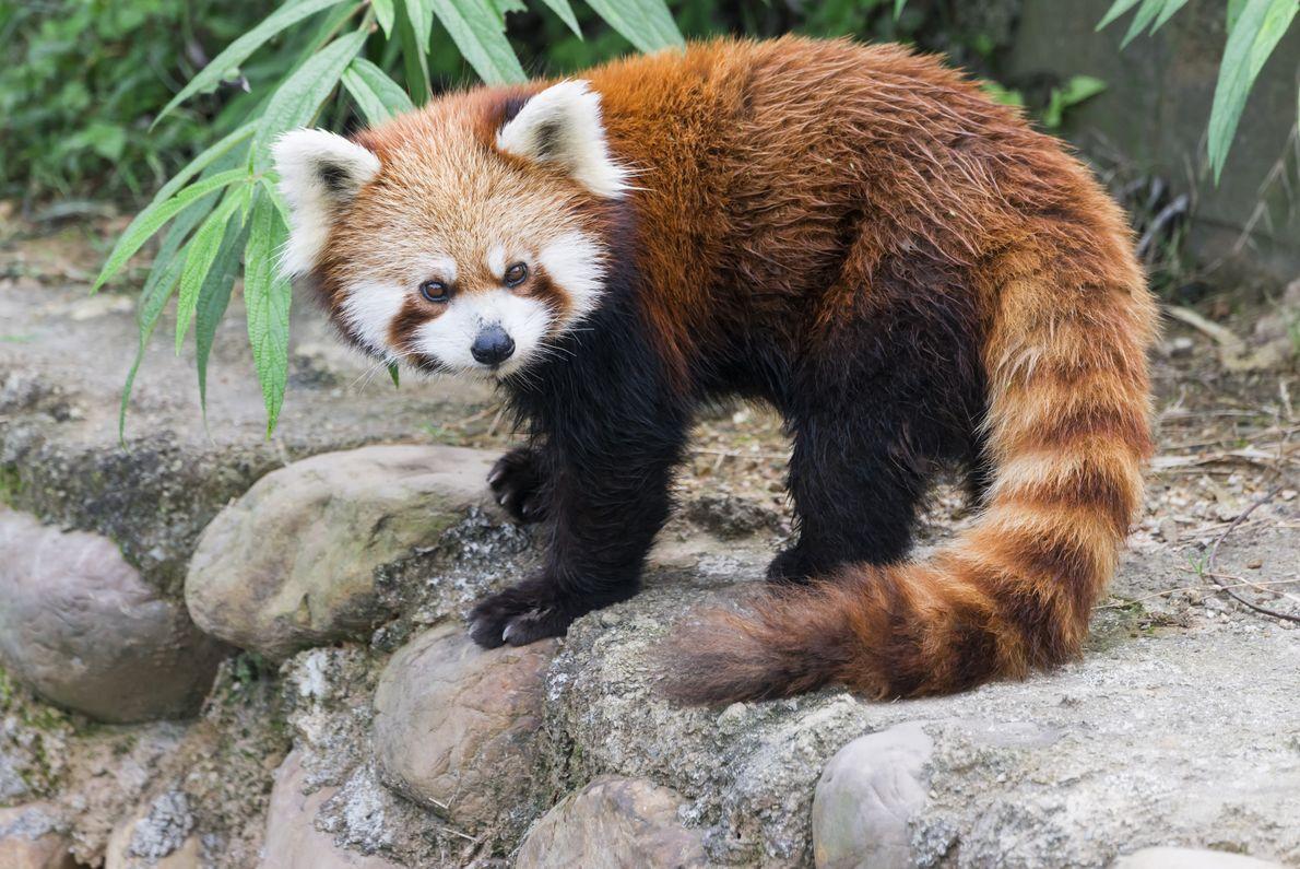 Panda-vermelho a passear