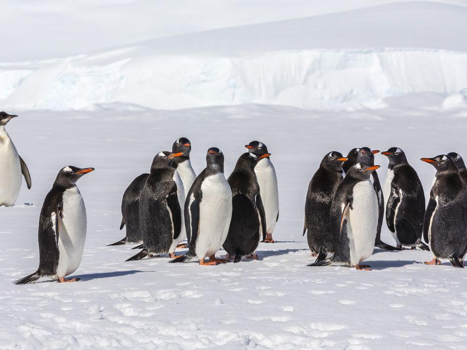 O Pinguim-Imperador em Fotos