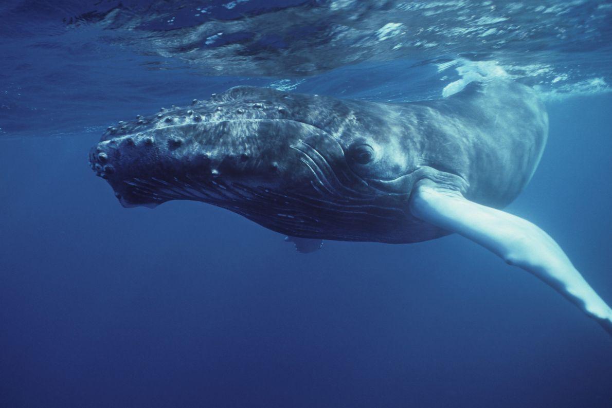 Baleia-jubarte submersa