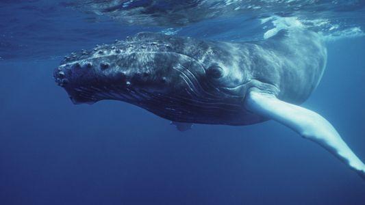 A Baleia-Corcunda em Fotos