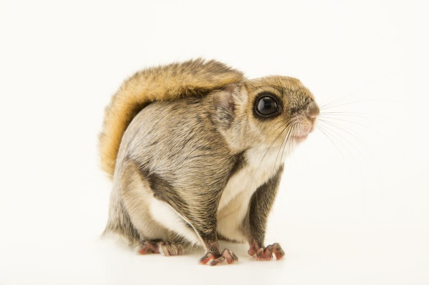 Esquilo voador Siberiano, Pteromys Volans
