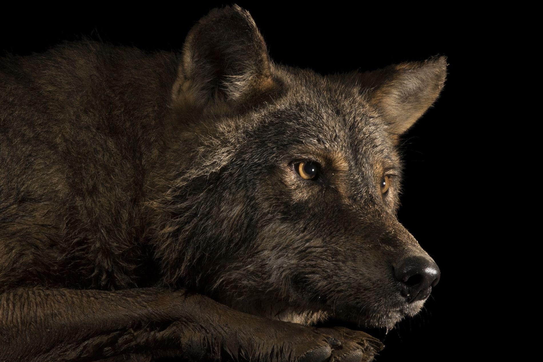 Lobo-ibérico entra para o Photo Ark