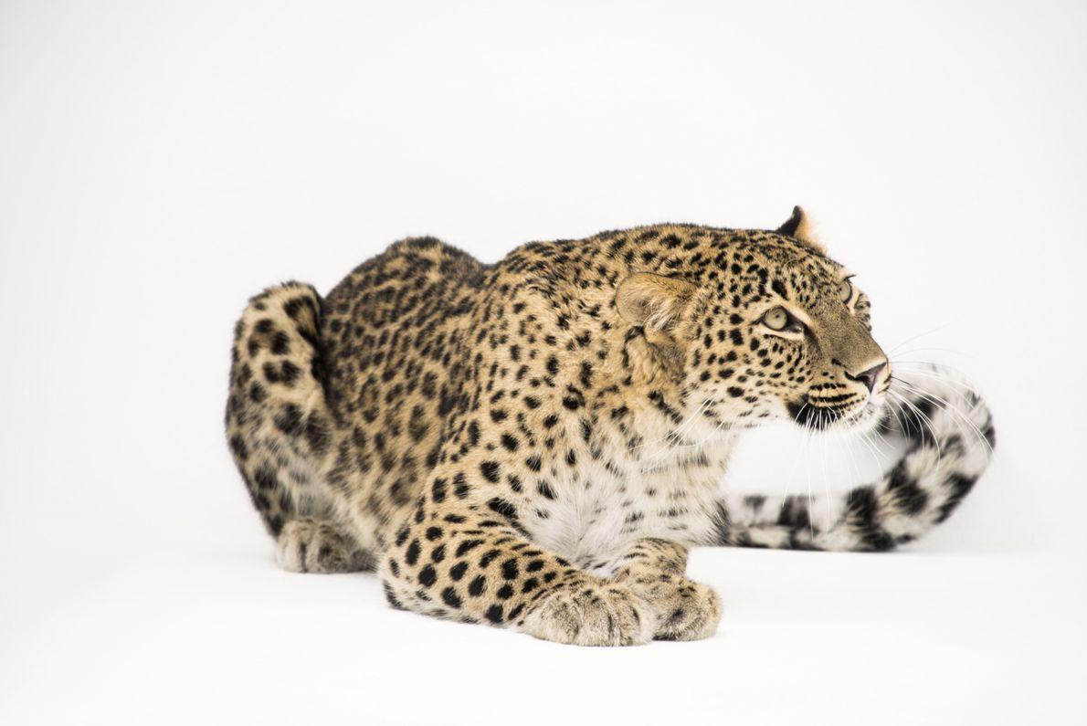 Leopardo-da-pérsia entra para o Photo Ark