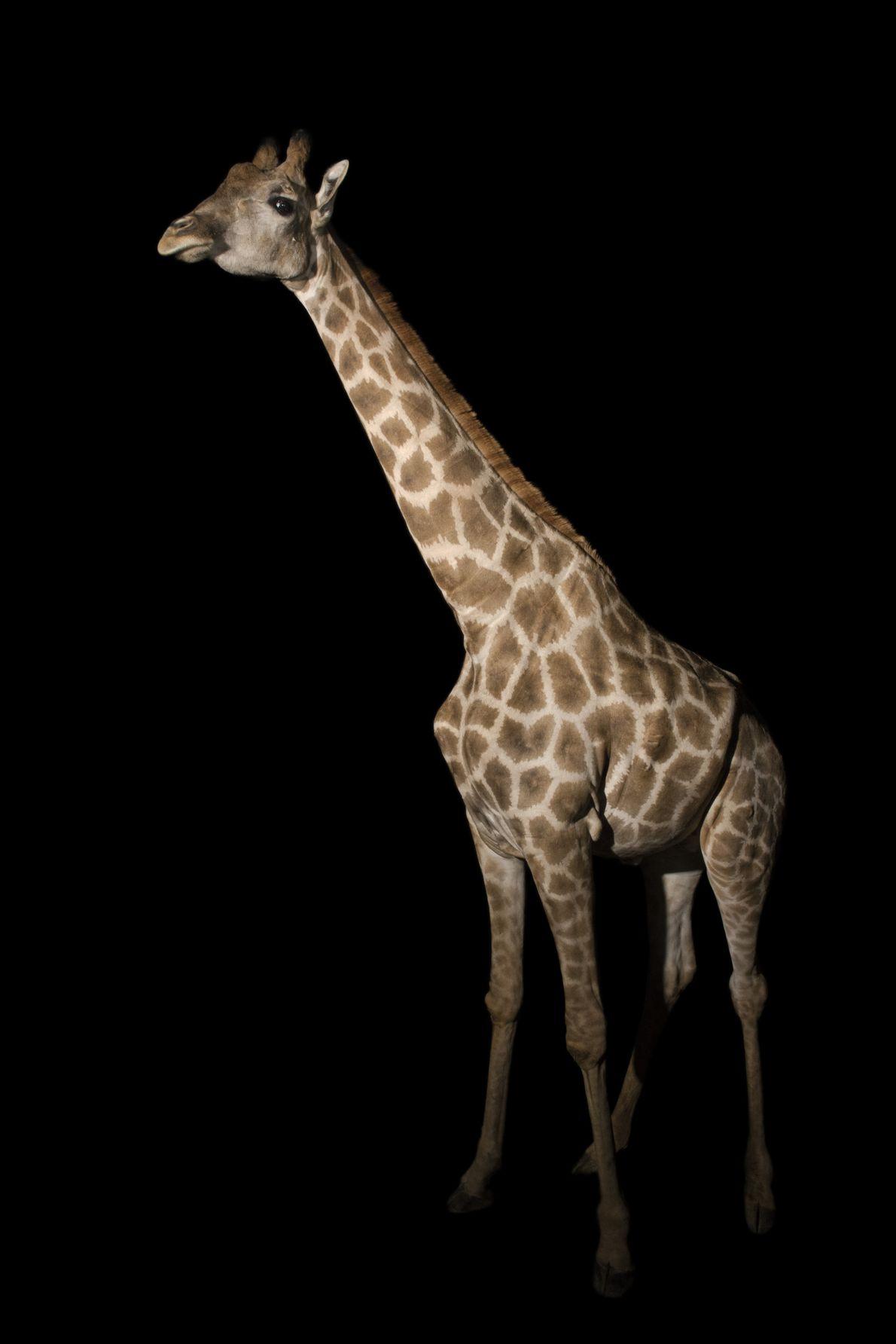 Girafa-de-angola entra para o Photo Ark