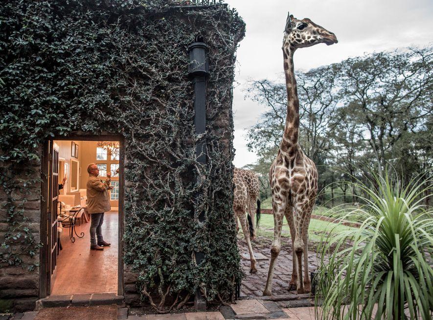Em Naioribi, uma girafa espreita ao lado de uma casa, no Quénia.