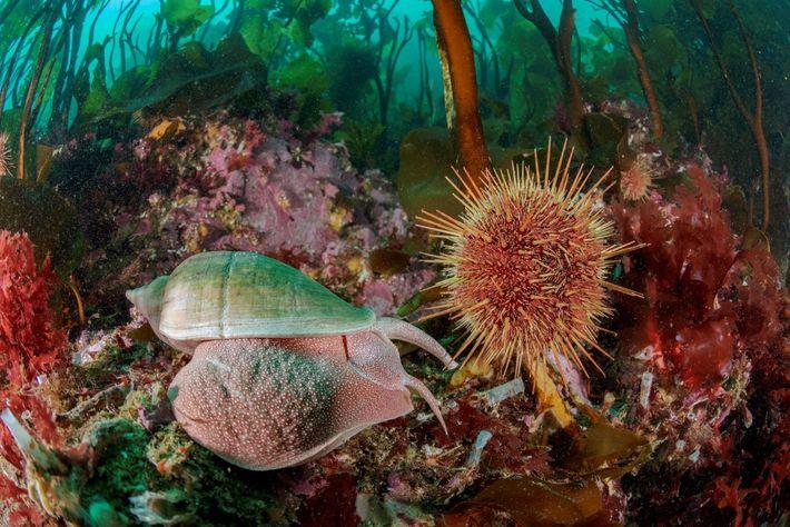 Um grande caracol move-se por um ouriço-do-mar comendo no caule, ou estipe, da alga marinha de ...