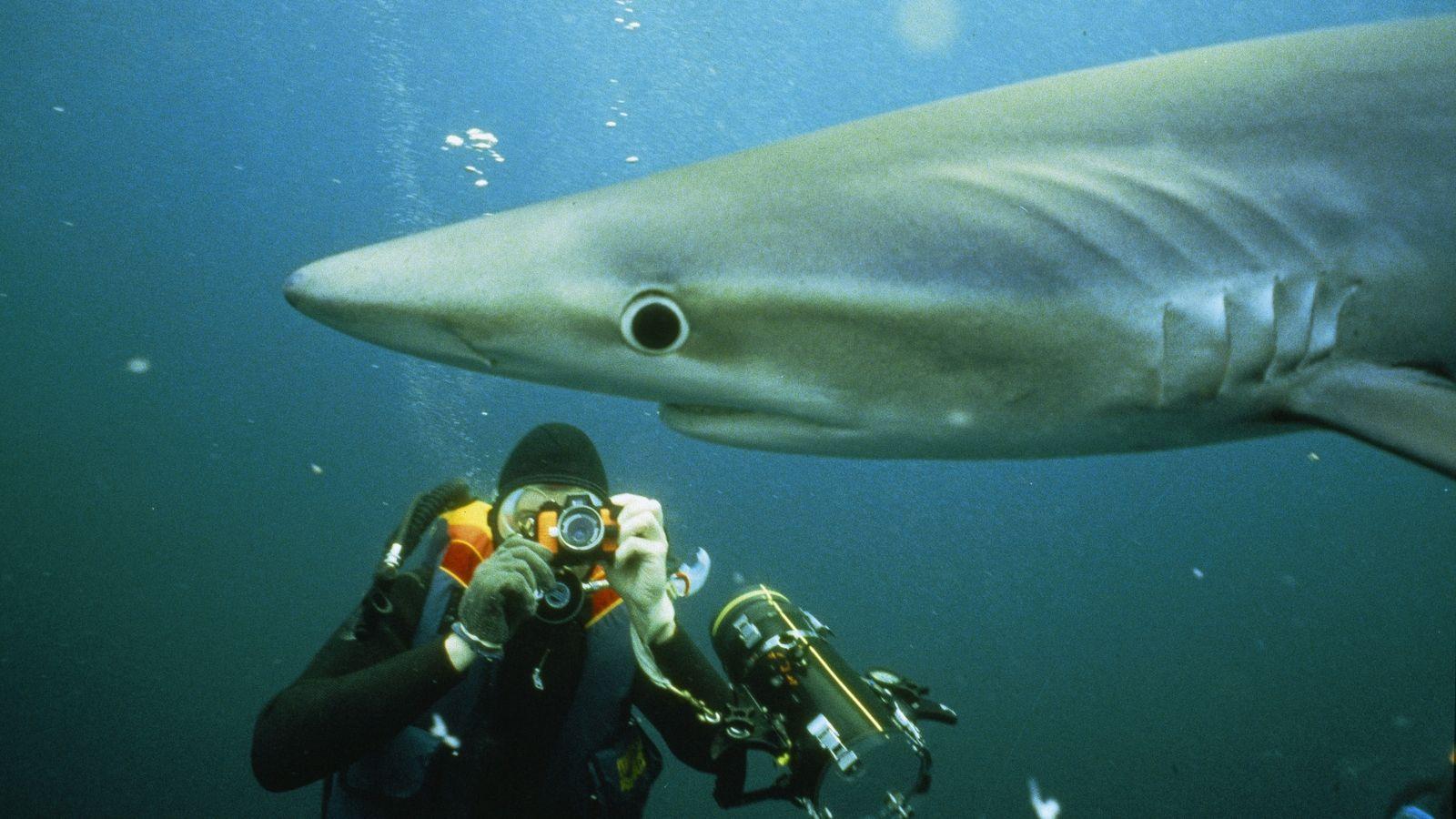 Tubarão-azul fotografado por Nick Caloyianis.