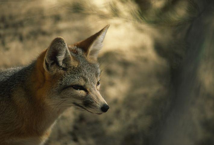 Isto é uma vulpes cinereoargenteus ou uma raposa cruzada (vulpes vulpes fulva).
