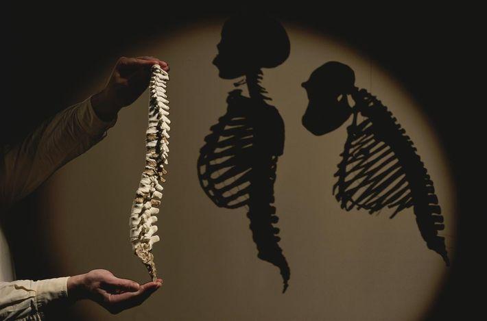 Um modelo da coluna do Australopithecus afarensis (a Lucy) é mostrado ao lado das sombras da ...