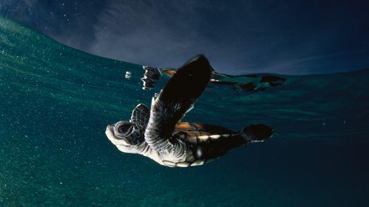 Dia Mundial da Tartaruga: Conheça a Espécie em Vias de Extinção