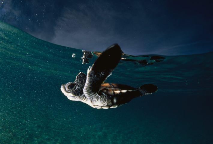 Uma tartaruga bebé nada livremente após ter nascido numa praia.