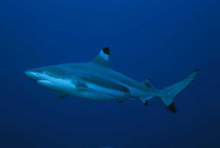 Um tubarão-de-pontas-negras nada ao lado da câmara.