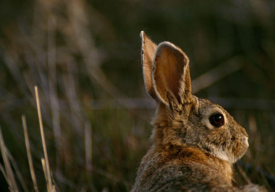 Coelho do deserto (Sylvilagus audubonii), reserva natural nacional de Rocky Mountain Arsenal, Colorado.