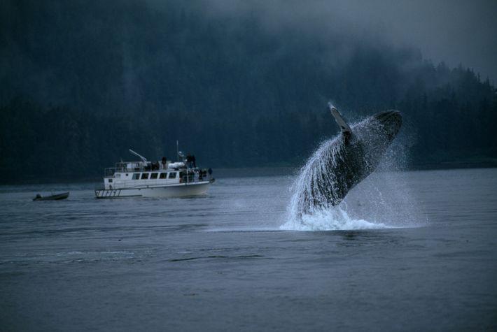 Observação de baleia no Alasca.