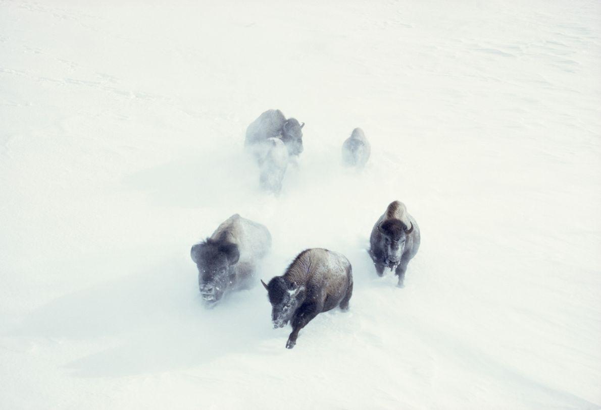 Bisontes-americanos atravessam neve forte, numa paisagem selvagem intocada.