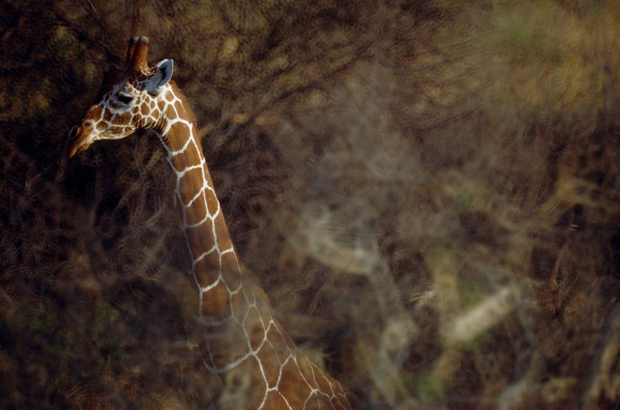 Girafa reticulada com cerca de cinco metros balanceia entre as copas das árvores.