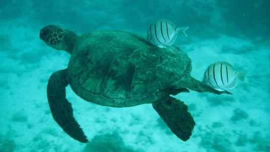 A Tartaruga-Verde em Fotos