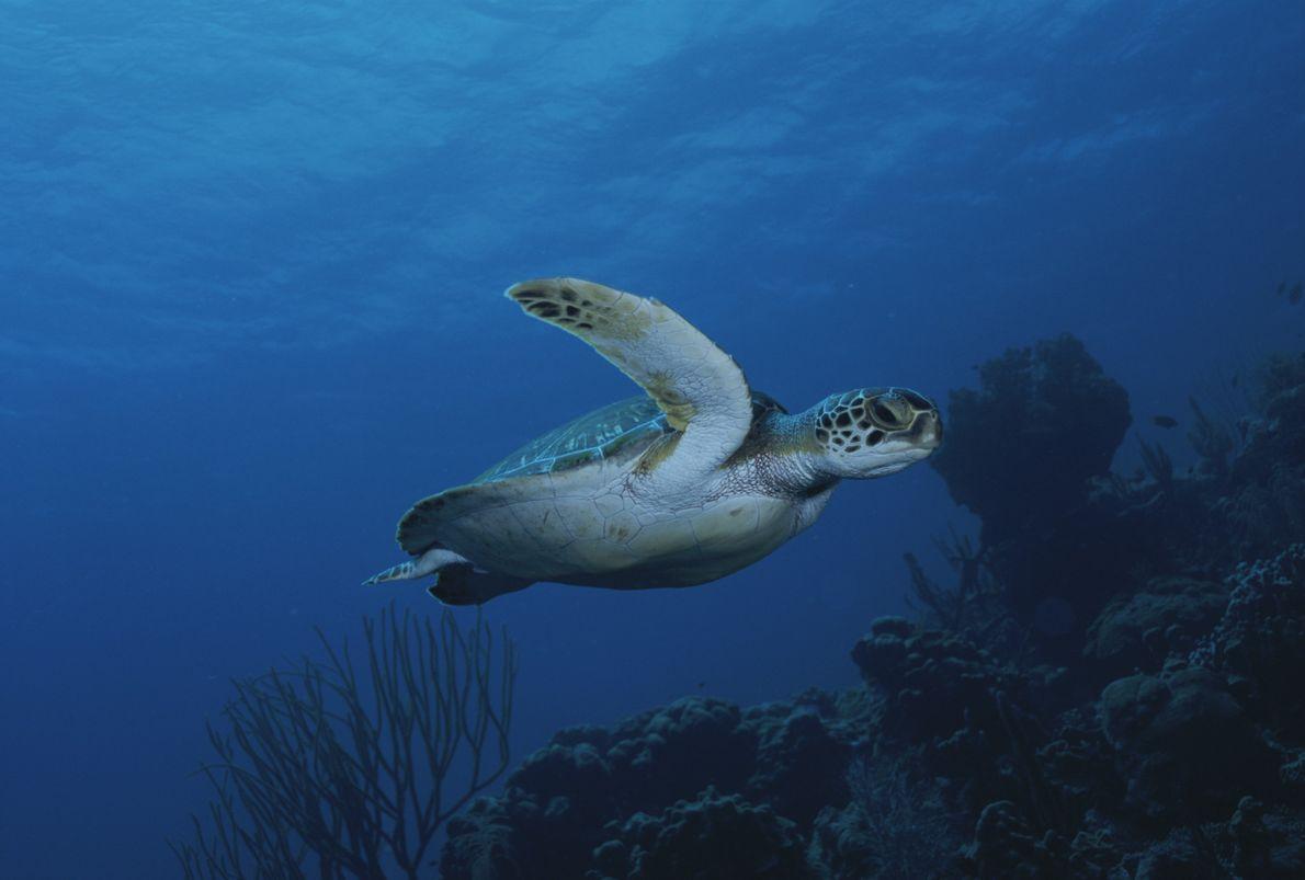 Tartaruga-verde marinha