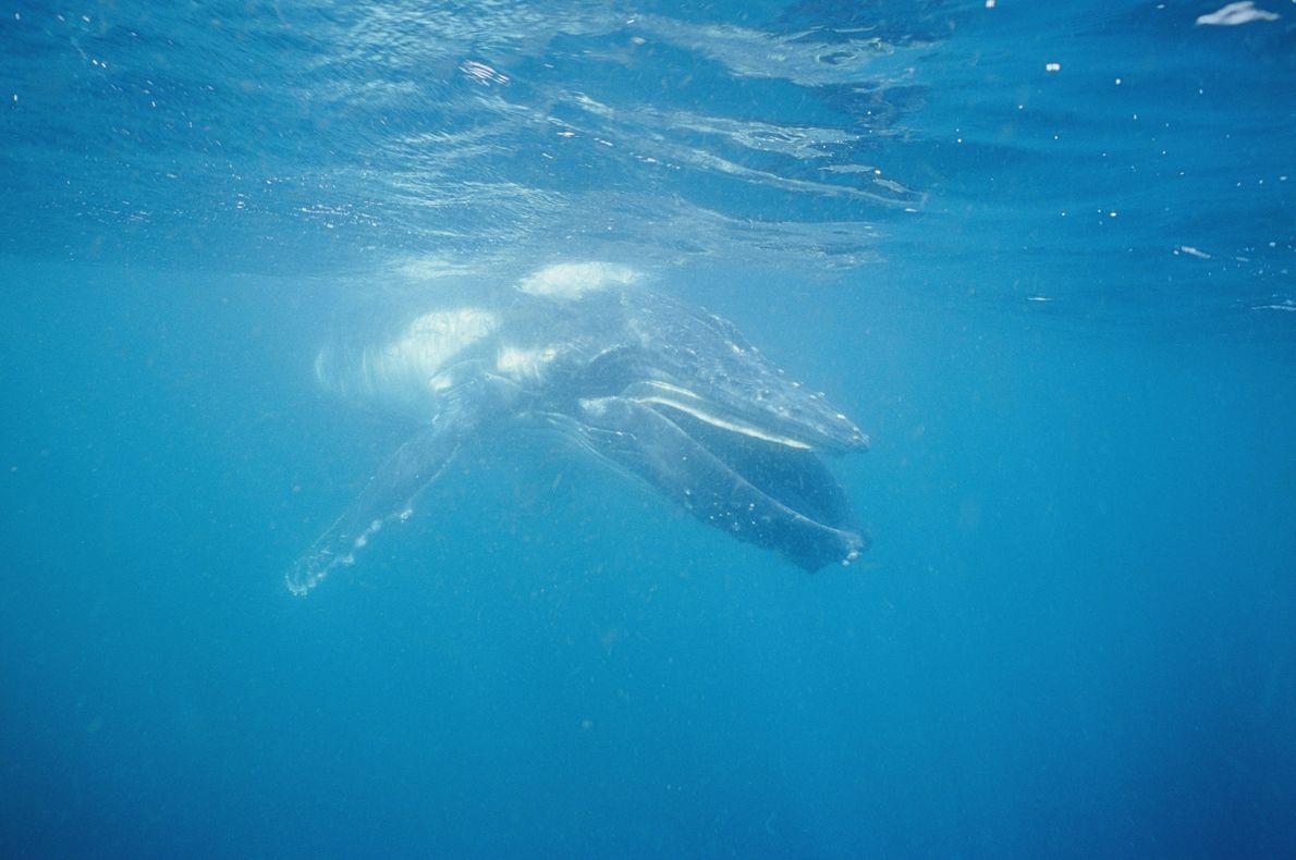 Baleia-jubarte a alimentar-se