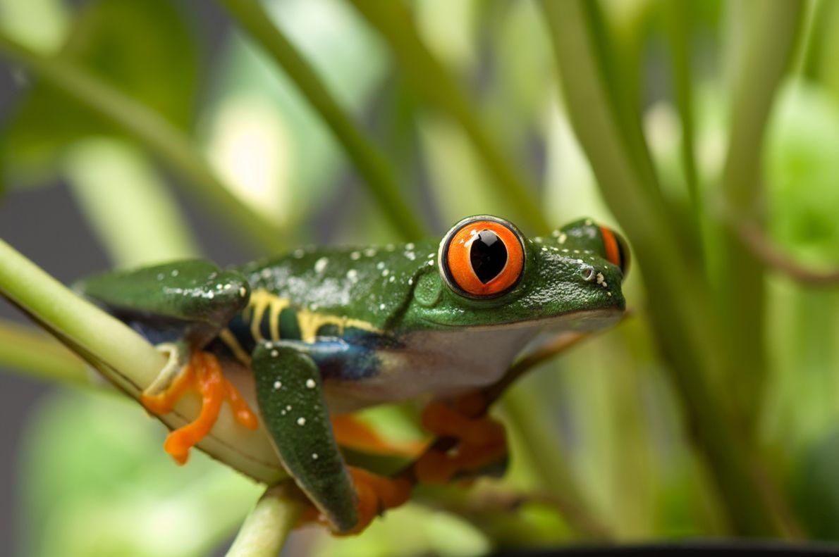 Rã-de-Olhos-Vermelhos