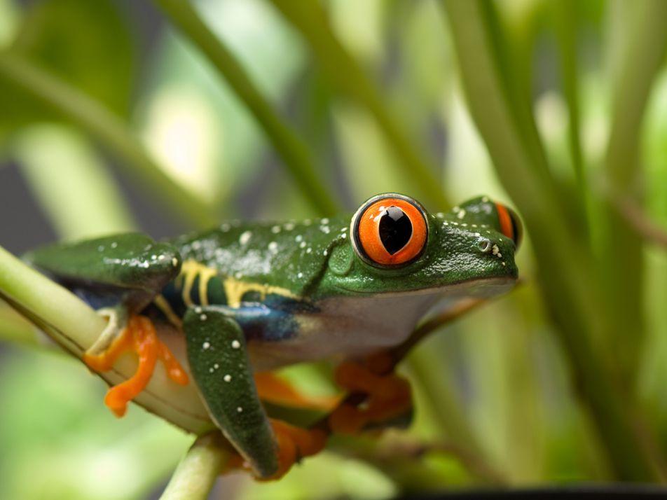 A Rã-de-Olhos-Vermelhos em Fotos