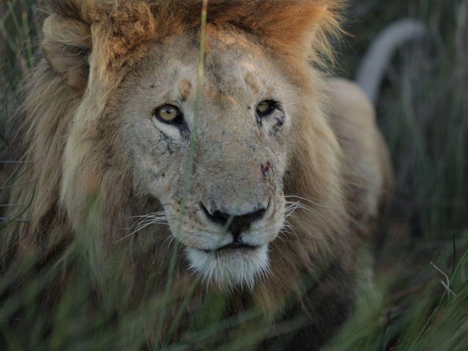 Como uma nova geração está a salvar os leões da Zâmbia