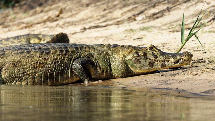 Observe este jaguar faminto tentar caçar jacarés à beira rio