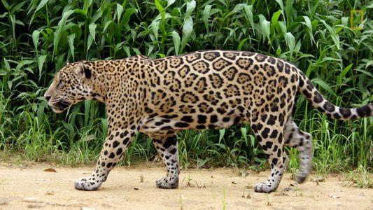 Veja como esta mãe jaguar ensina à cria tudo o que precisa para sobreviver
