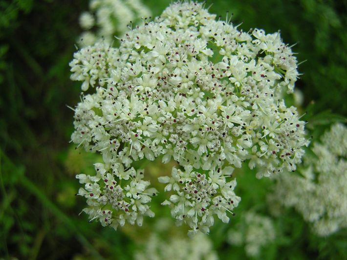 A espécie Oenanthe crocata, nativa do Oeste Europeu e do Mediterrâneo, e encontrada em toda a ...