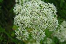 São belas, dão vontade de colher e parecem inofensivas. Ninguém diria, mas na verdade estas plantas ...