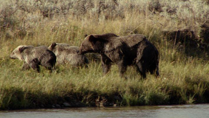 Uma mãe urso corajosa