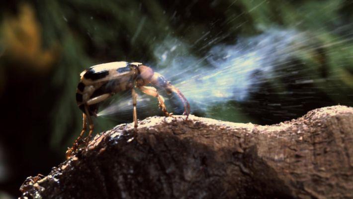 Os besouros bombardeiros
