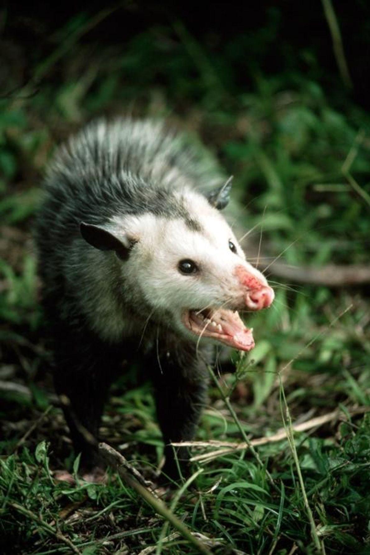 Opossum-da-virgínia é a espécie mais comum na América do Norte