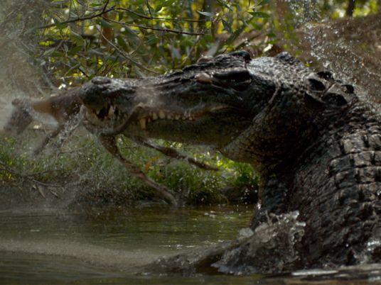 Veja como este crocodilo se mistura com o ambiente para caçar
