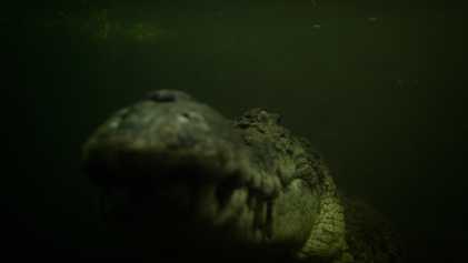 Observe este crocodilo imponente e faminto emboscar a sua presa