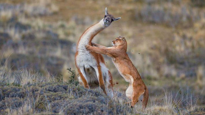 Veja o Confronto Entre Um Puma e Um Animal Semelhante a Um Lama, Com Um Final ...