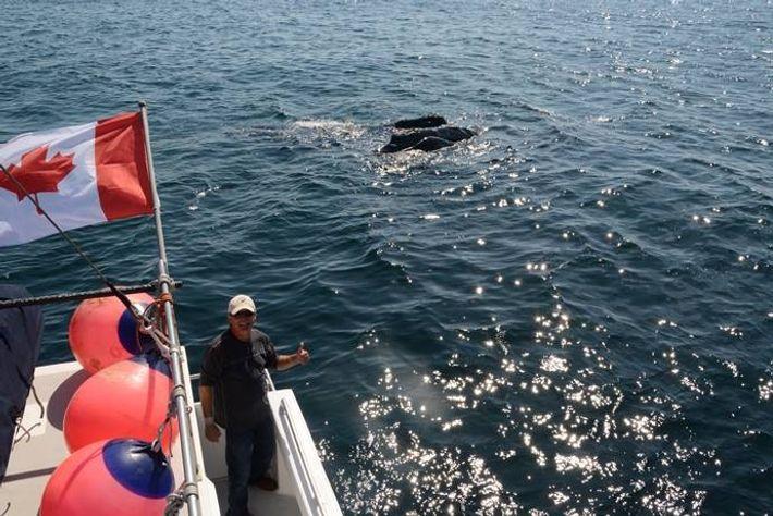 Joe Howlwett com uma baleia do Norte Atlântico e a sua cria.