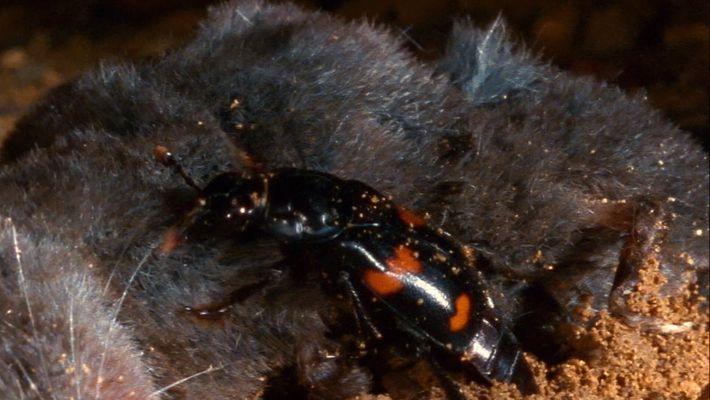 Veja estes escaravelhos enterrarem um cadáver antes de colocarem os seus ovos dentro dele