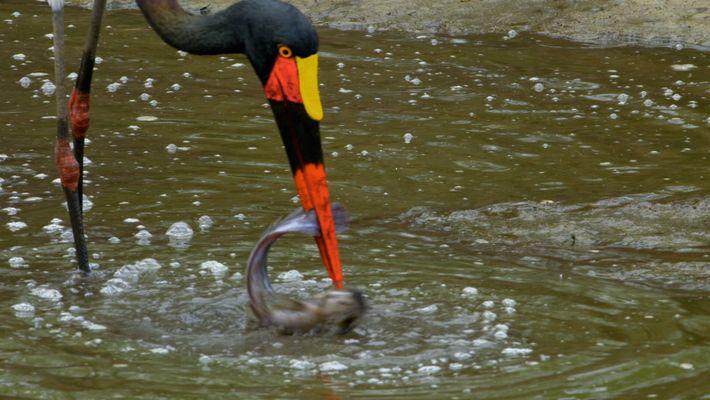 VEJA: Uma cegonha-de-lombo-preto surpreendida por pigargo-africano ao tentar caçar a sua presa