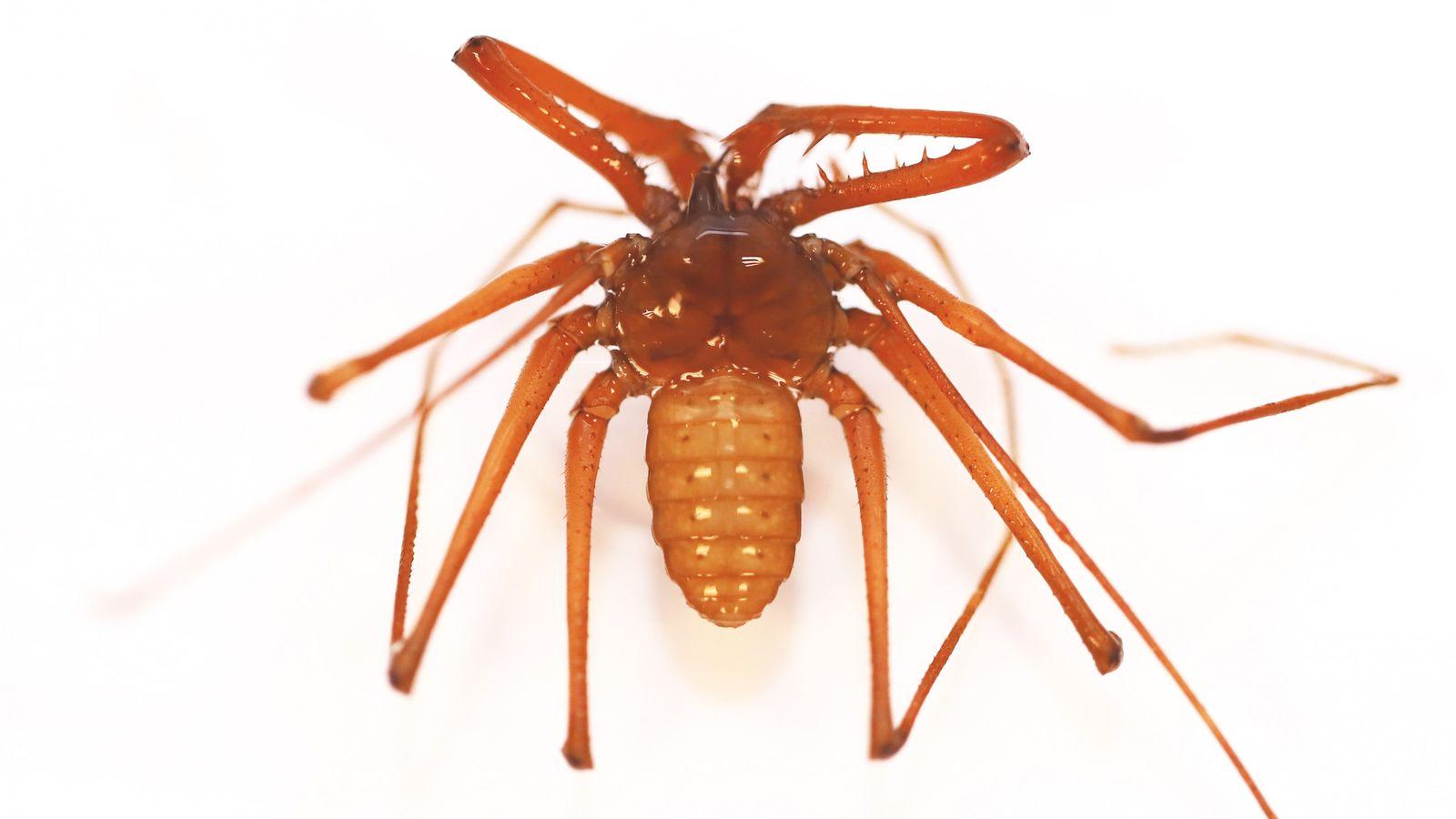 Sarax timorensis, uma nova espécie de aracnídeo descoberta pela bióloga Ana Sofia Reboleira.