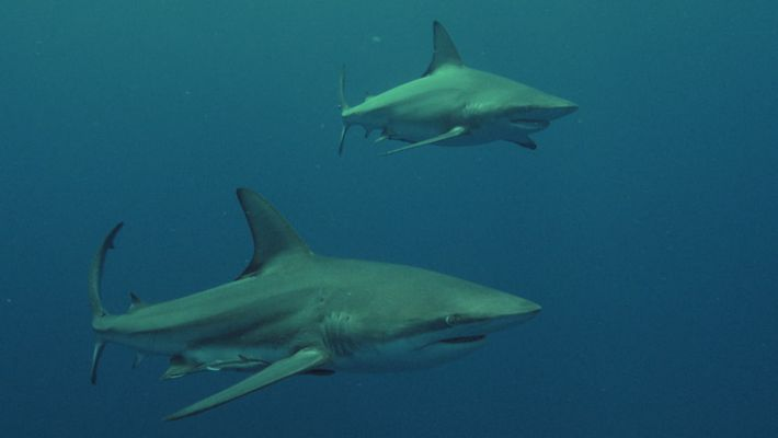 Corrida da Sardinha | Shark Vs Surfer