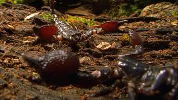 Escorpiões canibais lutam até à morte