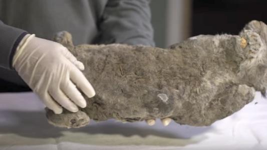 Leão Extinto com 50 000 Anos Foi Encontrado Congelado na Rússia
